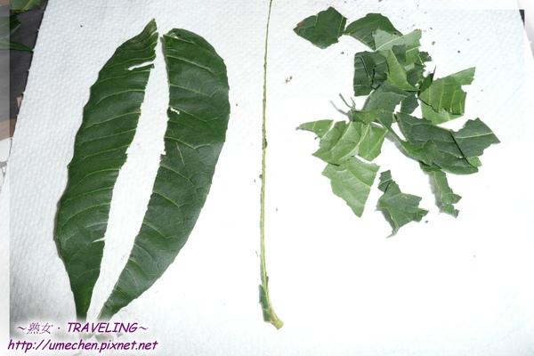 做香樁醬4-1分離好的葉肉,葉脈和撕碎的葉脈.jpg