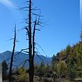 前往亞丁-火紋身的一片樹林(中央遠處尖尖雪山是夏諾多吉峰).jpg