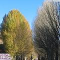 前往稻城-白楊樹林的光影進行曲1.jpg
