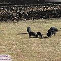 桑堆鎮-紅草地旁藏族人家的小豬.jpg