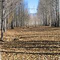 前往稻城-白楊樹林的光影進行曲19.jpg