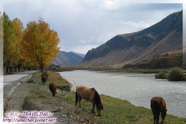新都橋-金色柏楊,溪流和吃草的馬.jpg