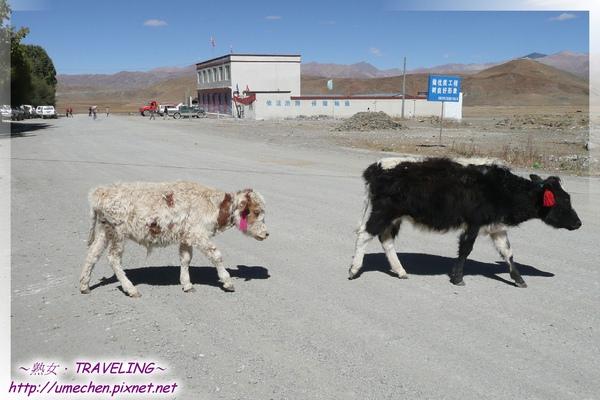 卡嘎鎮-這裏牛的品種好像不太壯.jpg