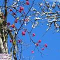 磨榆公路-漿果與初雪(1)紅色的.jpg