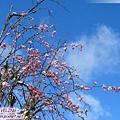 磨榆公路-漿果與初雪(5)粉紅的.jpg