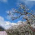 磨榆公路-漿果與初雪(6)還有白色的哦.jpg