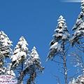 磨榆公路-積雪的樹,很可愛哩.jpg