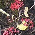 海螺溝三號營地-紅色漿果.jpg