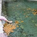 海螺溝二號營地-冰川溫泉泡腳,秋葉代替玫瑰花瓣.jpg