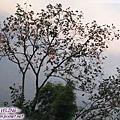 大渡河畔的柿子樹.jpg