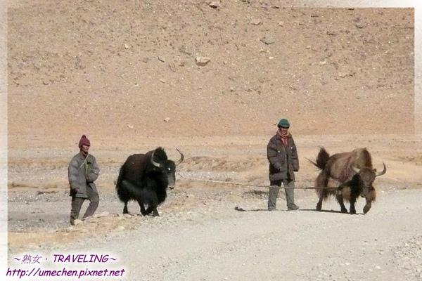 馬泉河-藏民與犛牛.jpg