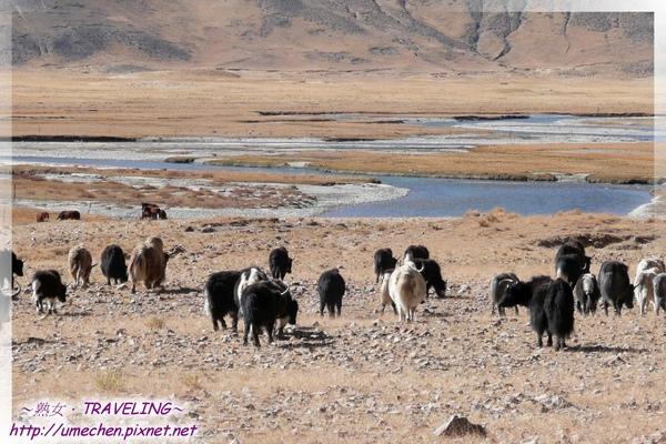 拉薩鄉-犛牛群-3.jpg