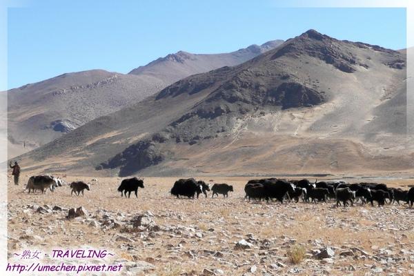 拉薩鄉-犛牛群-4.jpg
