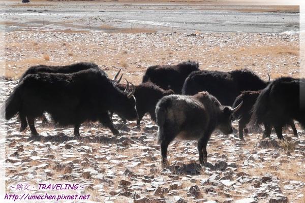 拉薩鄉-犛牛群-6.jpg