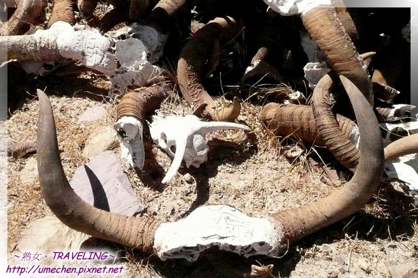 仲巴平安寺-犛牛頭骨僅保留兩隻角相連的部份骨頭.jpg