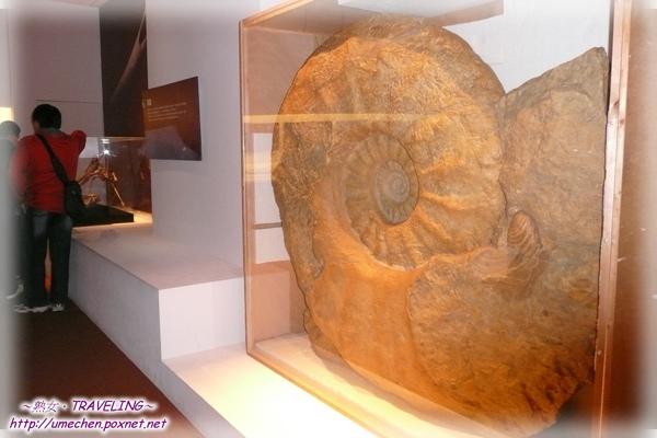 巨菊石-史上最大菊石,180公分高.jpg