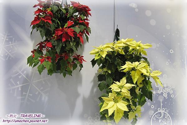 爭豔館-聖誕紅高品質盆栽展-2.jpg