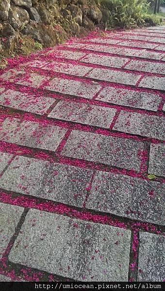 櫻花步道 絲雨