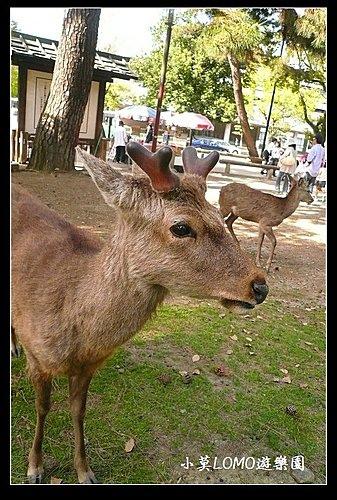 2009京都行(番外篇)_Dear 奈良の鹿  (5).jpg