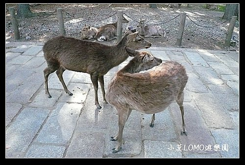 2009京都行(番外篇)_Dear 奈良の鹿  (8).jpg