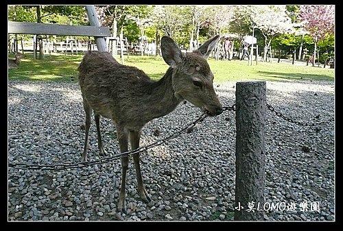 2009京都行(番外篇)_Dear 奈良の鹿  (9).jpg