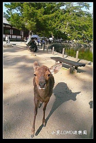 2009京都行(番外篇)_Dear 奈良の鹿  (10).jpg