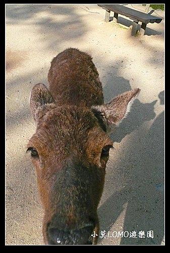 2009京都行(番外篇)_Dear 奈良の鹿  (11).jpg