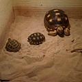 藝聲的三隻龜兄弟...-1