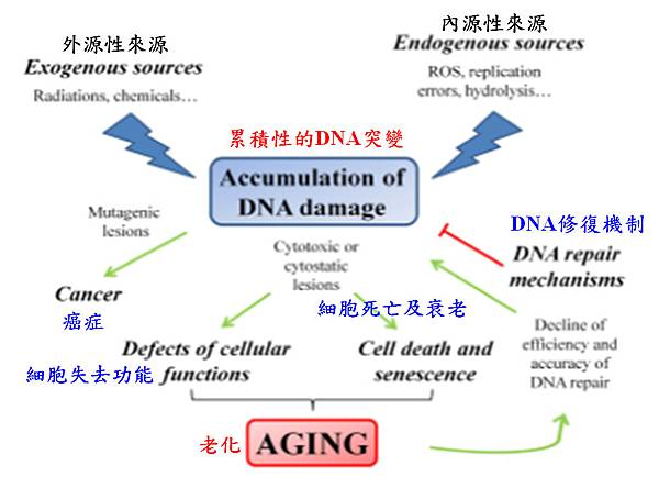 促進老化機制的簡圖.tif