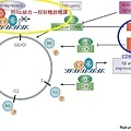 Cell cycle-2.jpg