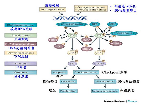 Cell cycle sensor, mediator, effector.tif