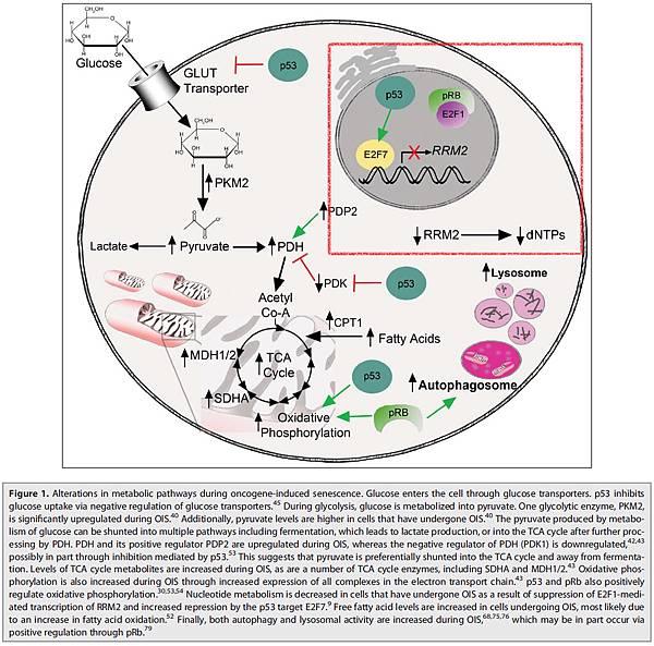 核甘酸代謝.tif