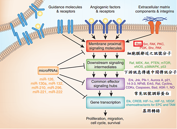 RAS之下游基因轉錄.png