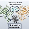 p53 DNA binding domain.jpg