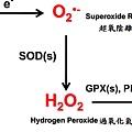 3. ROS代謝.tif