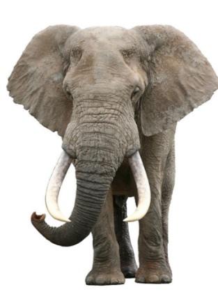 非洲象.jpg