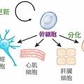 stem cell.tif