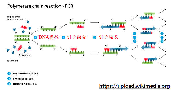 Polymerase_chain_reaction_svg.png