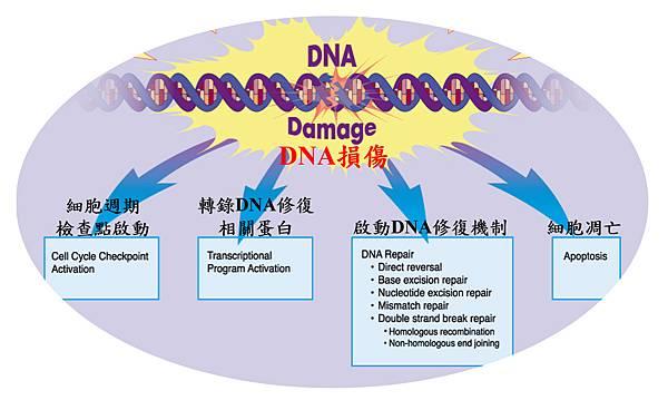 DNA damage to repair.tif