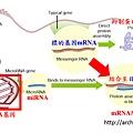 miRNA作用.tif