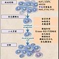 lymphoblast pathogenesis.tif