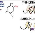 DNA甲基化.tif