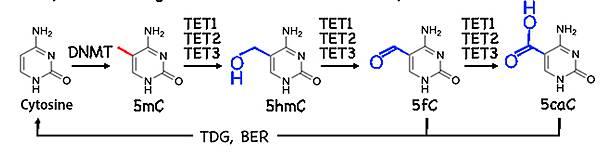TET作用過程-2.tif