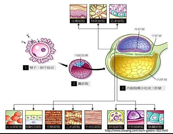 stem cell-各胚層發育細胞.tif