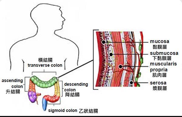 Colon-NCCN-structure.tif