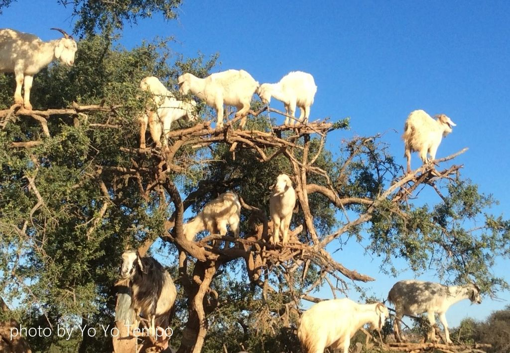 Tree-climbing goats in Morocco_YoYoTempo_image001.jpg
