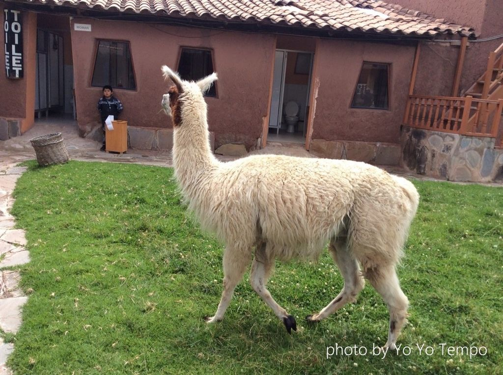 South America four species of cute camelid_YoYoTempo_image005.jpg