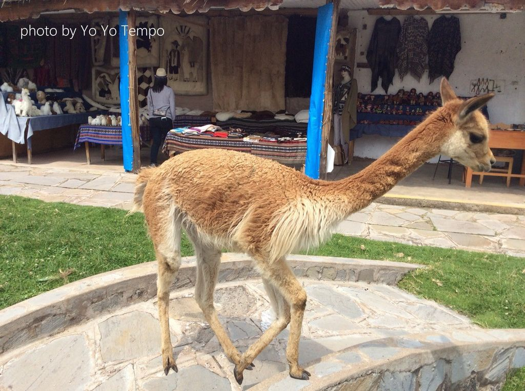 South America four species of cute camelid_YoYoTempo_image003.jpg