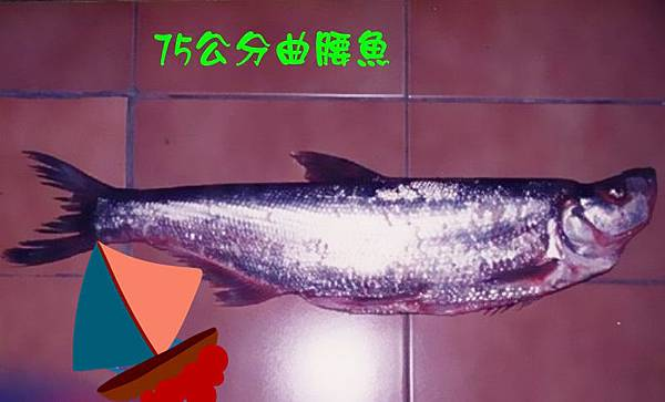 魚寶寶寫真館-曲腰魚1