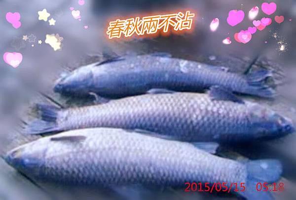魚寶寶寫真館-烏鰡2